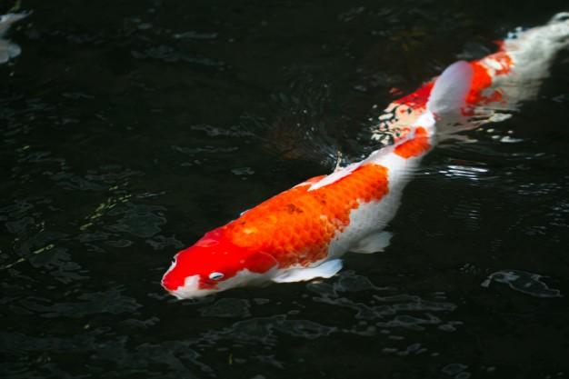 อาหารปลาคาร์ฟ ราคาถูก