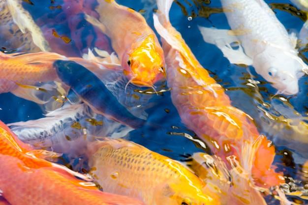 อาหารปลาคาร์ฟ ราคาถูก สำหรับปลาคาร์ฟ